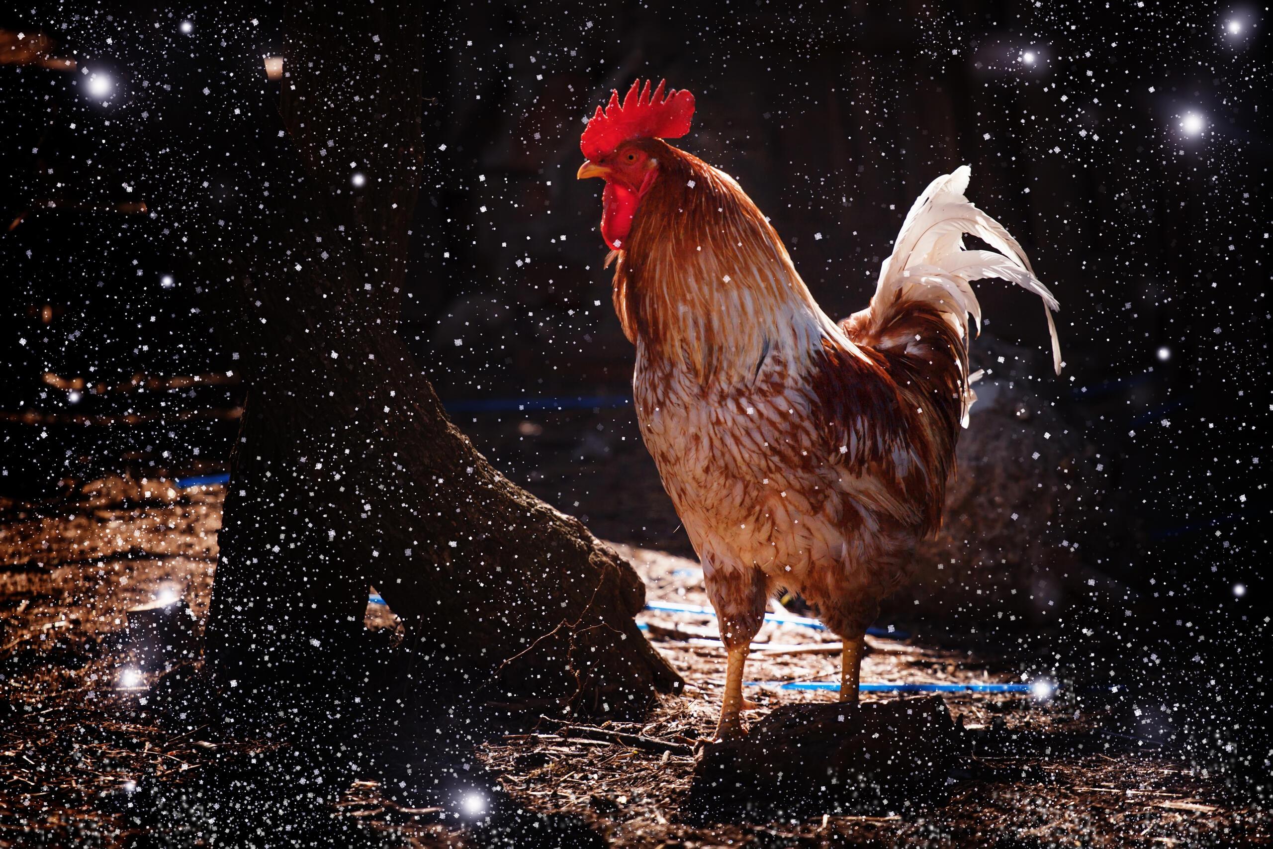 Chinesisches Horoskop 2017 - Jahr des Hahns - Feuer-Hahn