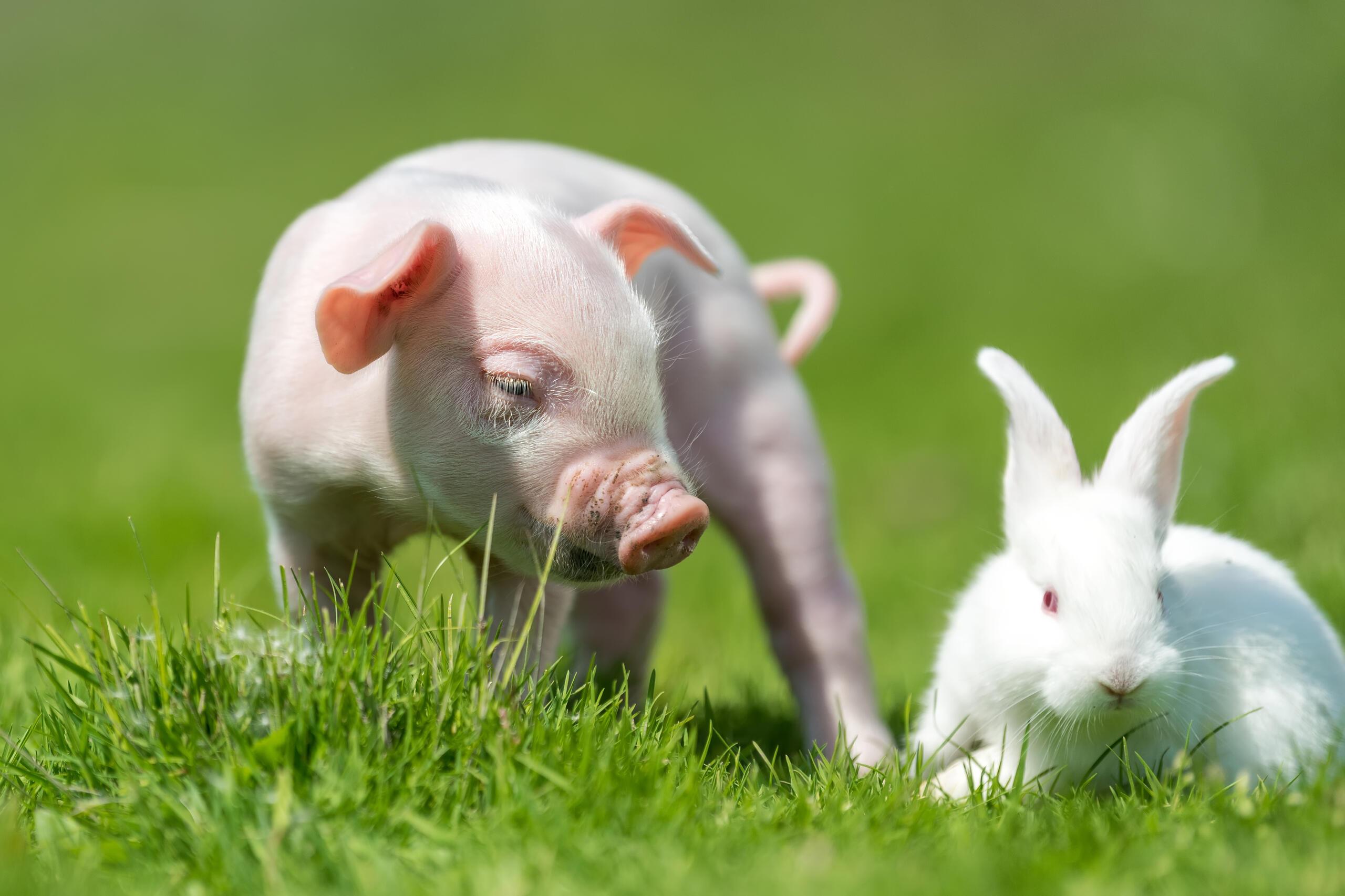 Jahr des Schweins - Chinesisches Horoskop 2019 - schicksal.com
