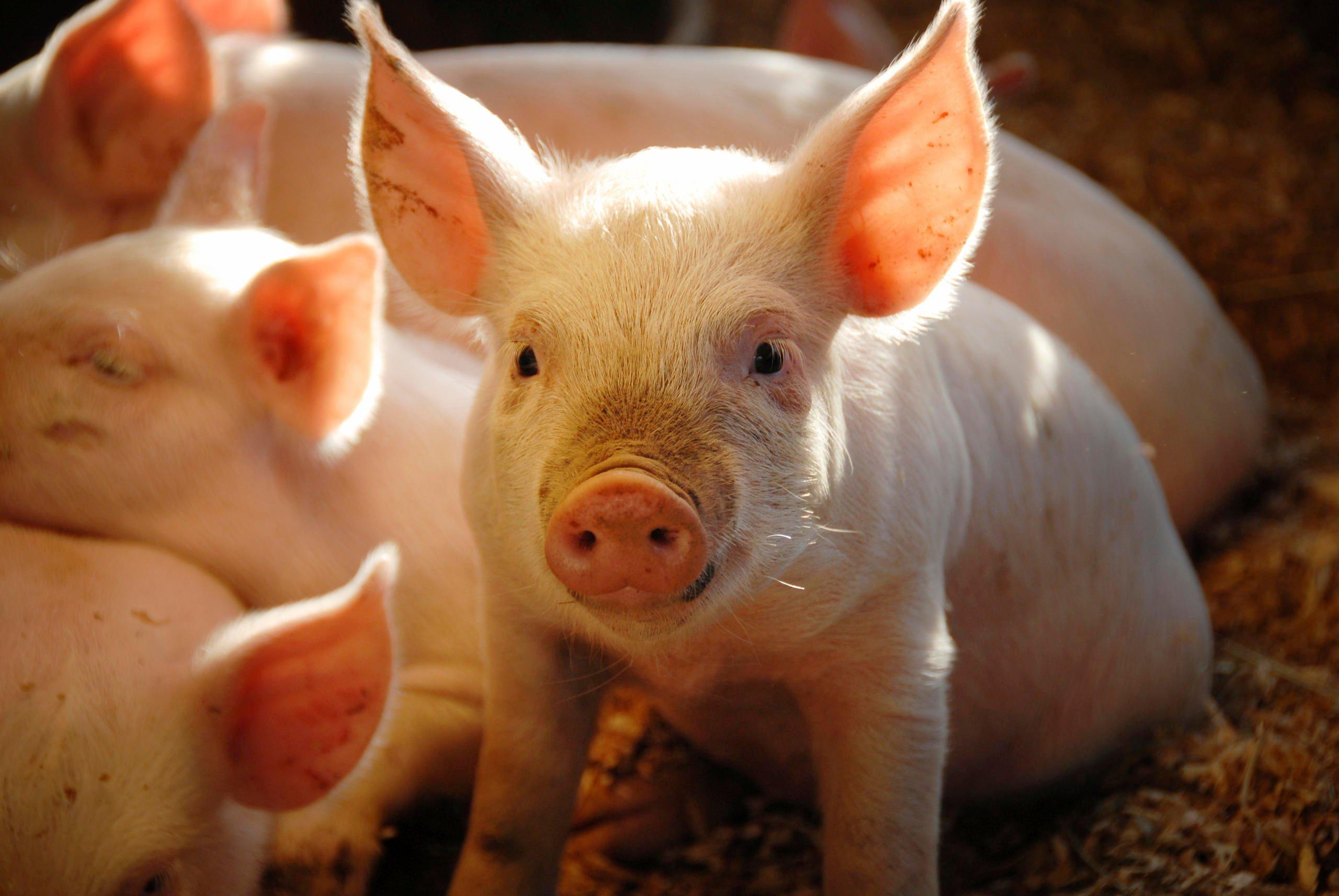 Chinesisches Sternzeichen Schwein - Tierkreiszeichen - Astrologie ...